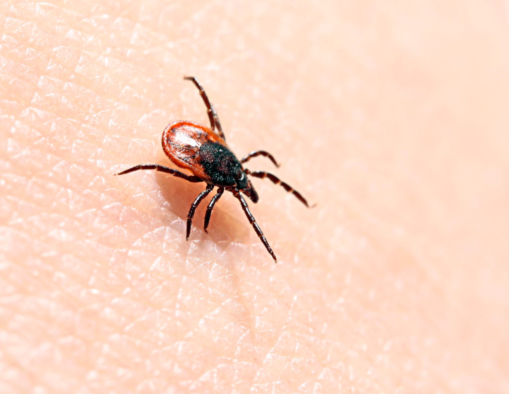 Ixodes ricinus (also called Sheep tick/Deer tick/Castor bean tick) is an important disease vector in Europe.
